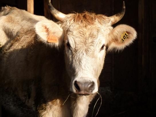 Brookford Farm cow, 2010